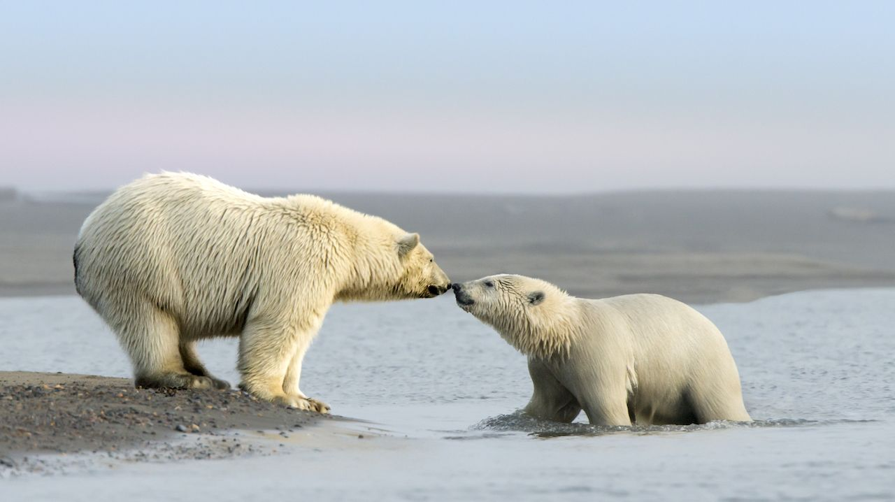 Polar Bear and her cub kosts in the village of Kaktovik in the Beaufort Sea off the north coast of Alaska